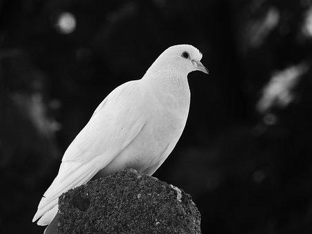 Dove, Bird, White, White Bird, Feathers, Plumage, Ave