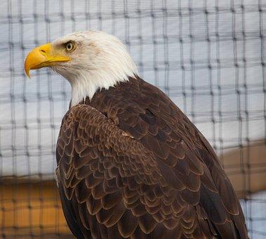 Bald Eagle, Predator, Eagle, Bird, Nature, Wildlife