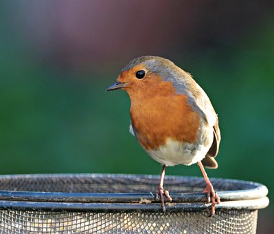 Robin, Bird, Redbreast, Perched, Bird Feeder, Garden