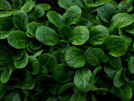 Lamb's Lettuce, Spring, Healthy, Nutrition, Salad