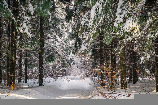 Winter, Forest, Snow, Trees, Conifers