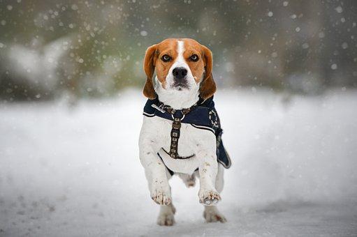 Beagle, Dog, Winter, Snow, Snowfall, Snowing, Pet