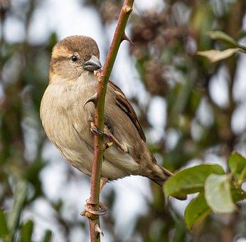 Sparrow, Bird, Branch, Perched, Animal, Hedge Sparrow