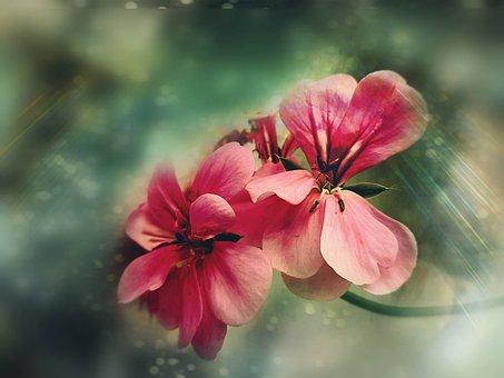 Geranium Macro, Pink Flower, Flower, Bloom, Spring