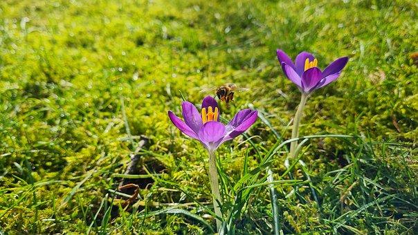 Summer, Bee, Child, Spring, Flower, Crocus, Bloom