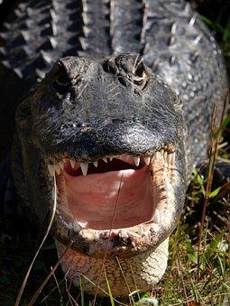 Alligator, Swamp, Gator, Reptile, Predator, Everglades