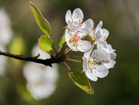 Apple Blossoms, Flowers, Spring, Tree, Branch