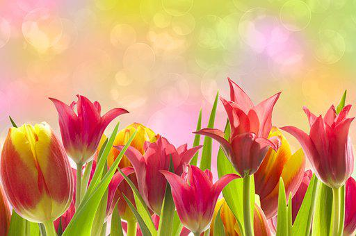 Tulips, Flowers, Blooming, Blossoming