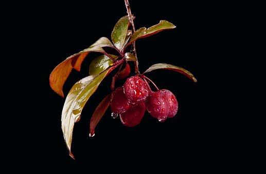 Fruits, Branch, Dew, Dewdrops, Drip, Wet