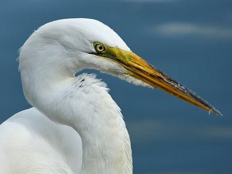 Great Egret, Egret, Bird, Wildlife, Nature, Beak