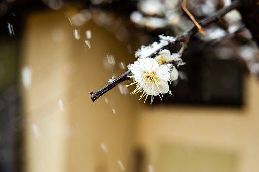 Branch, Flower, Snowfall, Snowing, Snow, Winter, Bloom