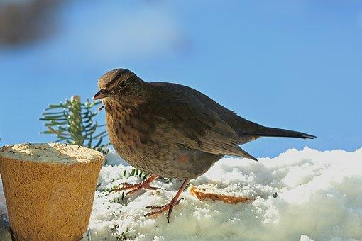 Blackbird, Winter, Feed, Female, Snow, Songbird