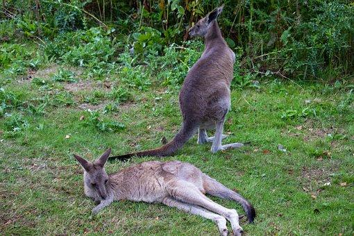 Kangaroos, Zoo, Animal, Australia, Mammal, Marsupial