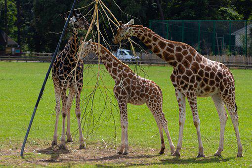 Giraffes, Zoo, Animal, Mammal, Africa, Wildlife, Nature
