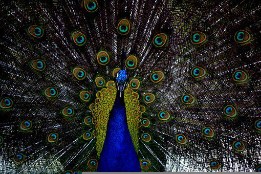 Peacock, Bird, Plumage, Peafowl, Animal