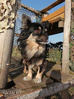 Dog, Chihuahua, Animal, Nature, Walk, Landscape
