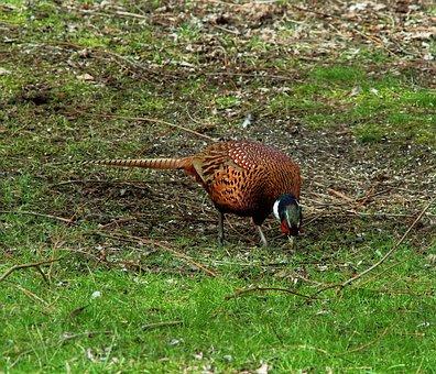 Pheasant, Males, Bird, Plumage, Hahn, Species, Animal