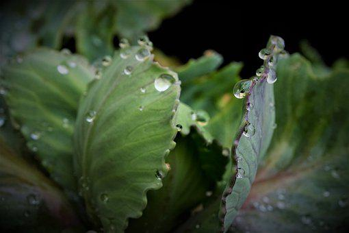 Cabbage, Water, Leaves, Nature, Aesthetics, Beads