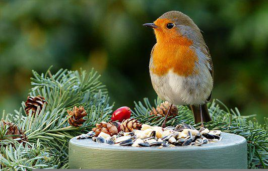 European Robin, Animal, Bird, Robin