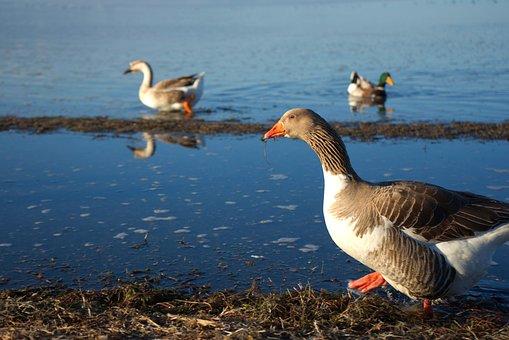 Geese, Birds, Water, Waterfowls, Water Birds, Feathers