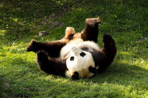 Panda, Bear, Cute, Black And White, Panda Bear, Playful