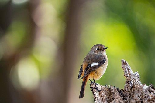 Daurian Redstart, Bird, Perched