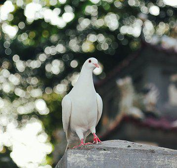 Dove, Pigeon, Bird, Perched, White Dove, White Pigeon