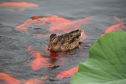 Mallard, Bird, Duck, Waterfowl, Water Bird