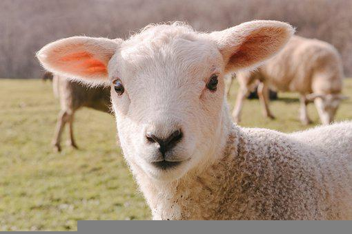 Sheep, Lamb, Animal, Mammal, Livestock, Wool, Farm
