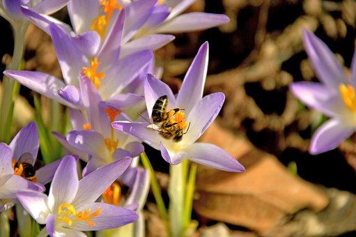Crocus, Bee, Spring, Bloom, Nature, Purple, Flower