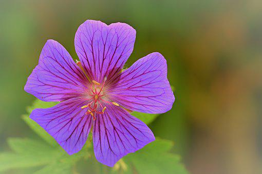 Mallow, Flower, Blossom, Bloom, Flora