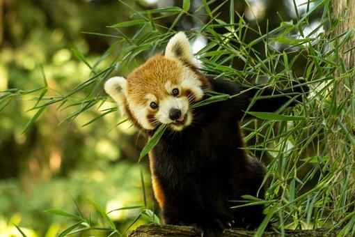 Panda, Bamboo, Leaf, Green, Nature, Foliage, Tree