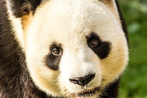 Panda, Cute, Bear, Mammals, Nature, Adorable, Hug, Fur