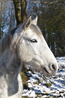 Portrait Horse, White Horse, Animal, Head Horse, Nature