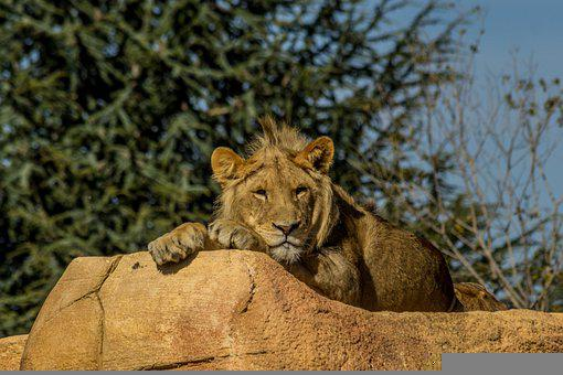 Lion, Africa, Animal, Wild, Fauna, Tawny, African