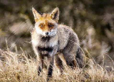 Fox, Animal, Photo Art, Mammal, Hunter, Wildlife