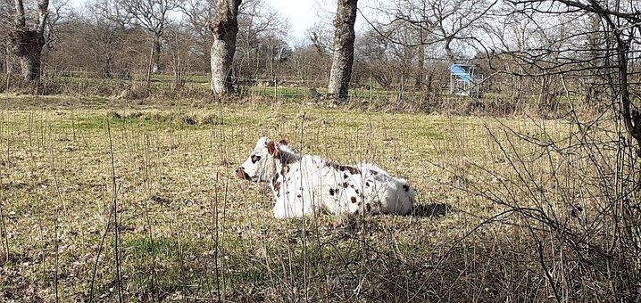 Animals, Cow, Cattle, Mammals, Nature, Pastures, Rural