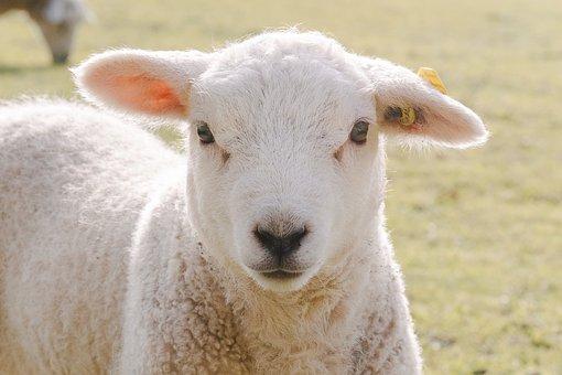 Sheep, Lamb, Farm, Animal, Livestock, Wool, Meadow