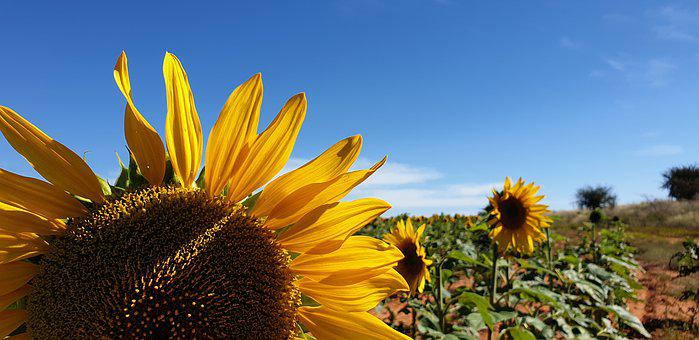 Sunflower, Blue Skies, Agriculture, Blue, Nature