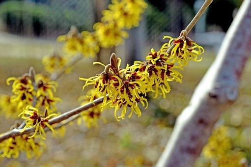 Hamamelis, Witch Hazel, Yellow, Spring, Nature, Light