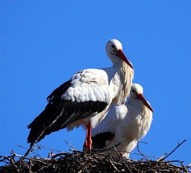 Storks, Birds, Rattle Stork, Nest, Nature