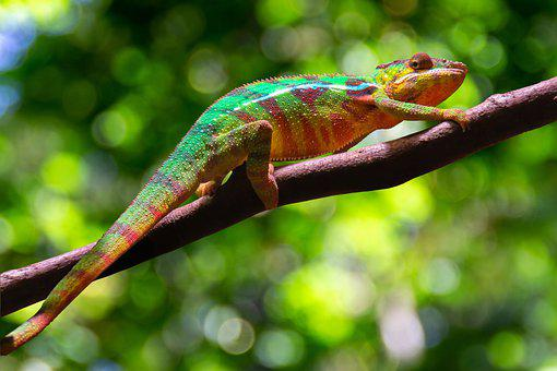 Chameleon, Reptile, Lizard, Animal, Nature, Colorful
