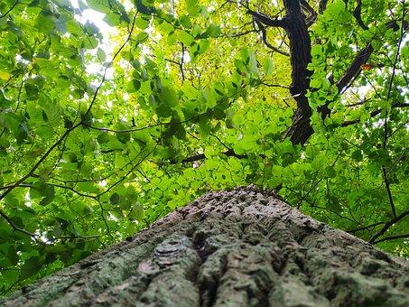 Oak, Mazury, Forest, Tree
