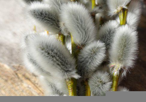 Palm Kitten, Willow Catkin, Spring, Branch