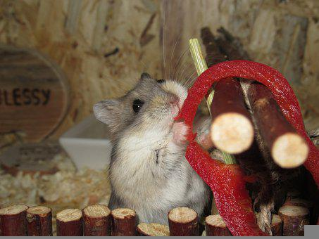 Hamster, Paprika, Red, Vegetables, Food, Dwarf Hamster