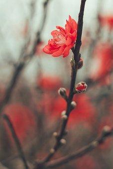 Peach Blossom, Flower, Branch, Bud, Peach, Bloom