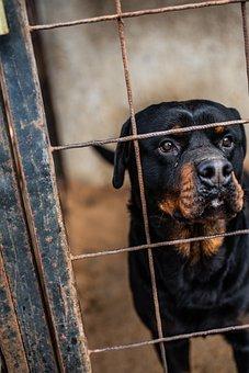 Rottweiler, Dog, Fence, Breed, Purebred, Animal, Pet