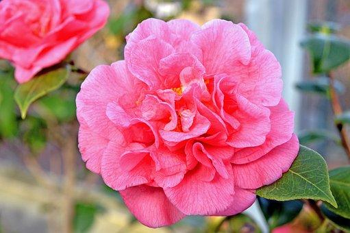 Camellia, Pink, Flower, Blossom, Garden, Plant, Flora