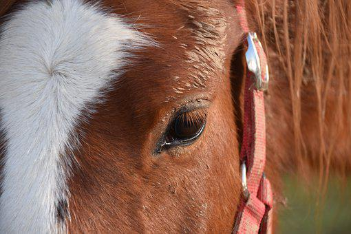 Horse, Horse Eye, Equine, Ruminant, Young Horse, Beauty