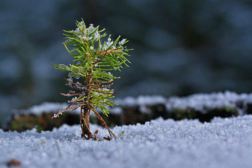 Winter, Seedling, Growth, Sapling, Snow
